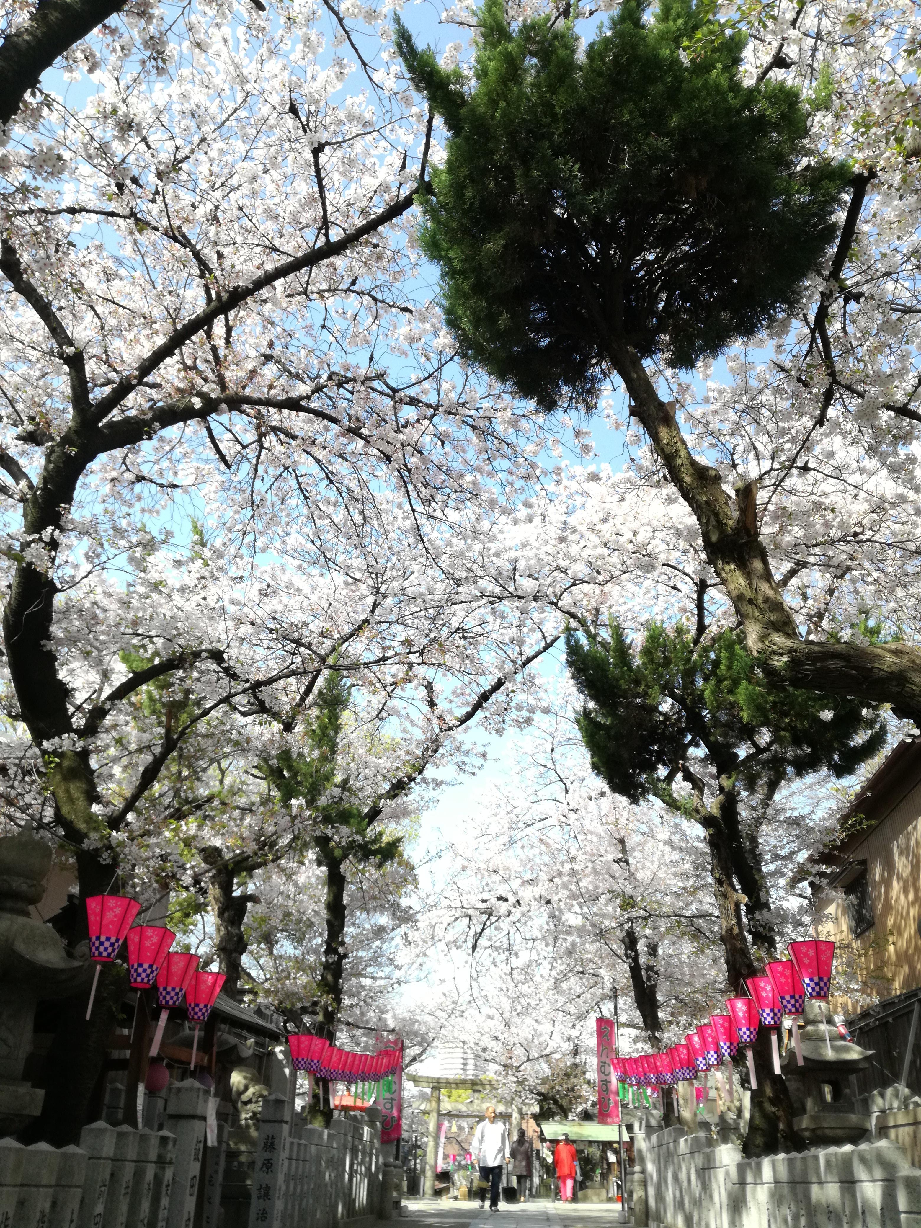 弥栄神社 桜トンネル