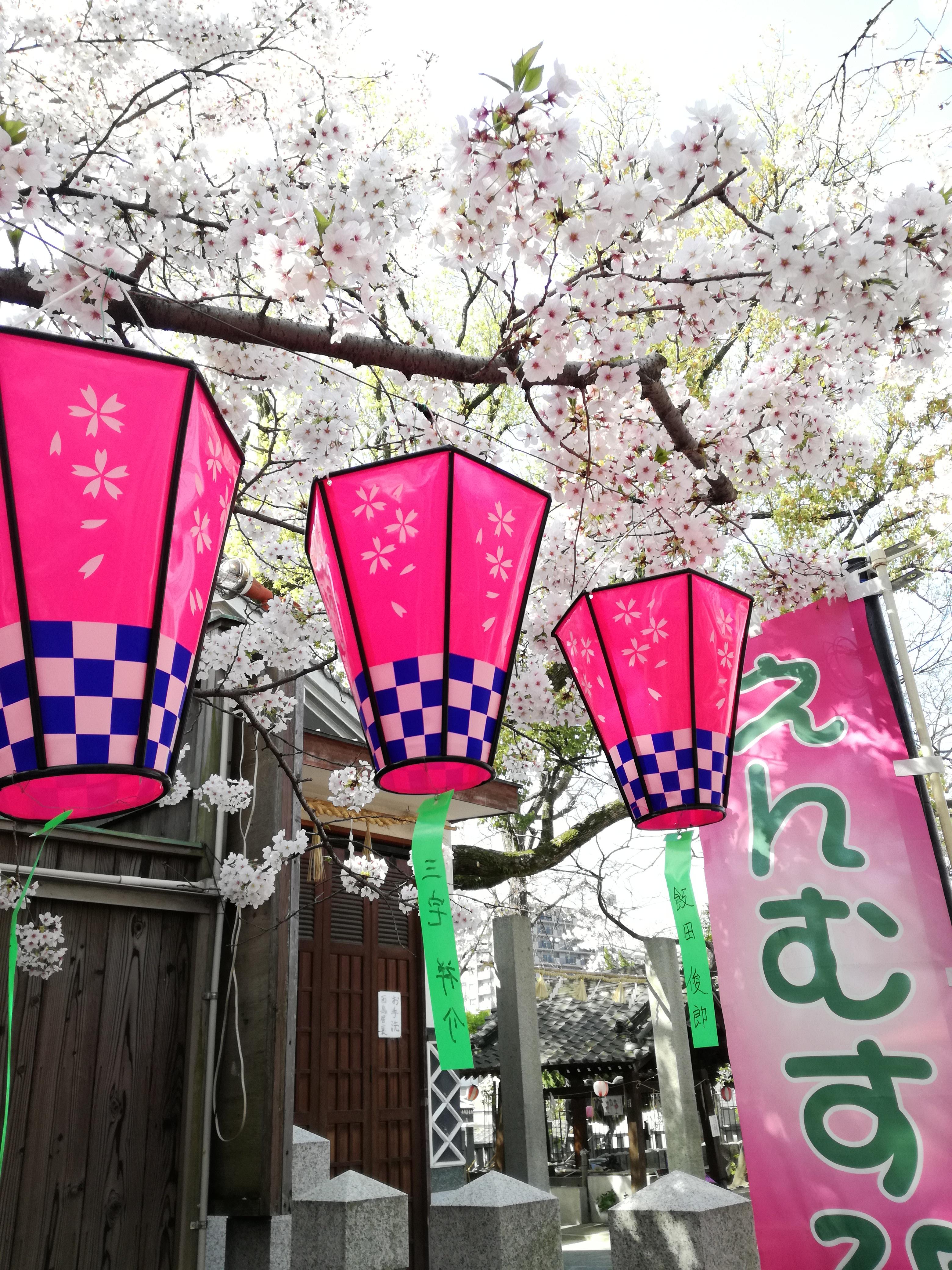 弥栄神社 桜 提灯