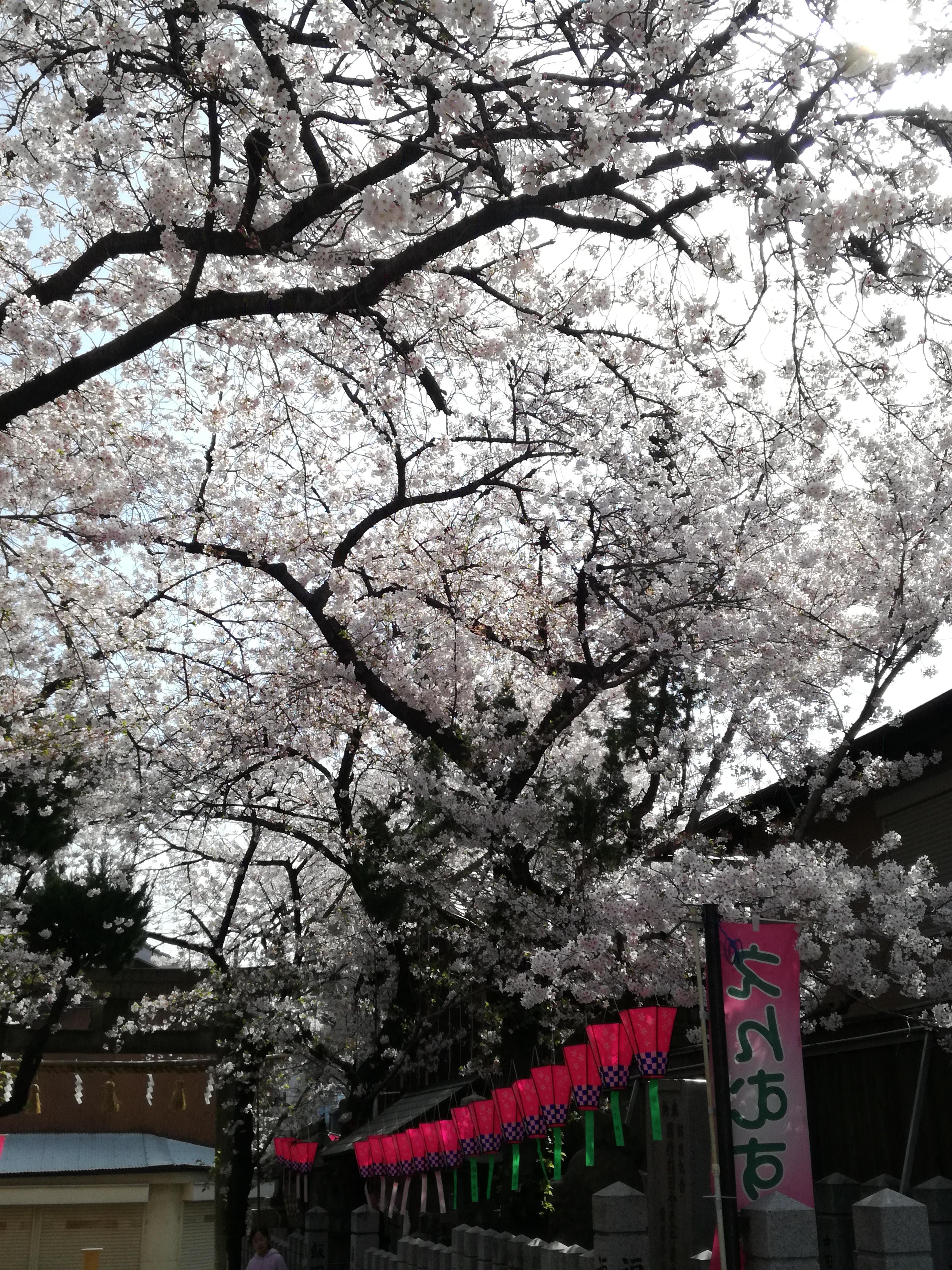 弥栄神社 桜