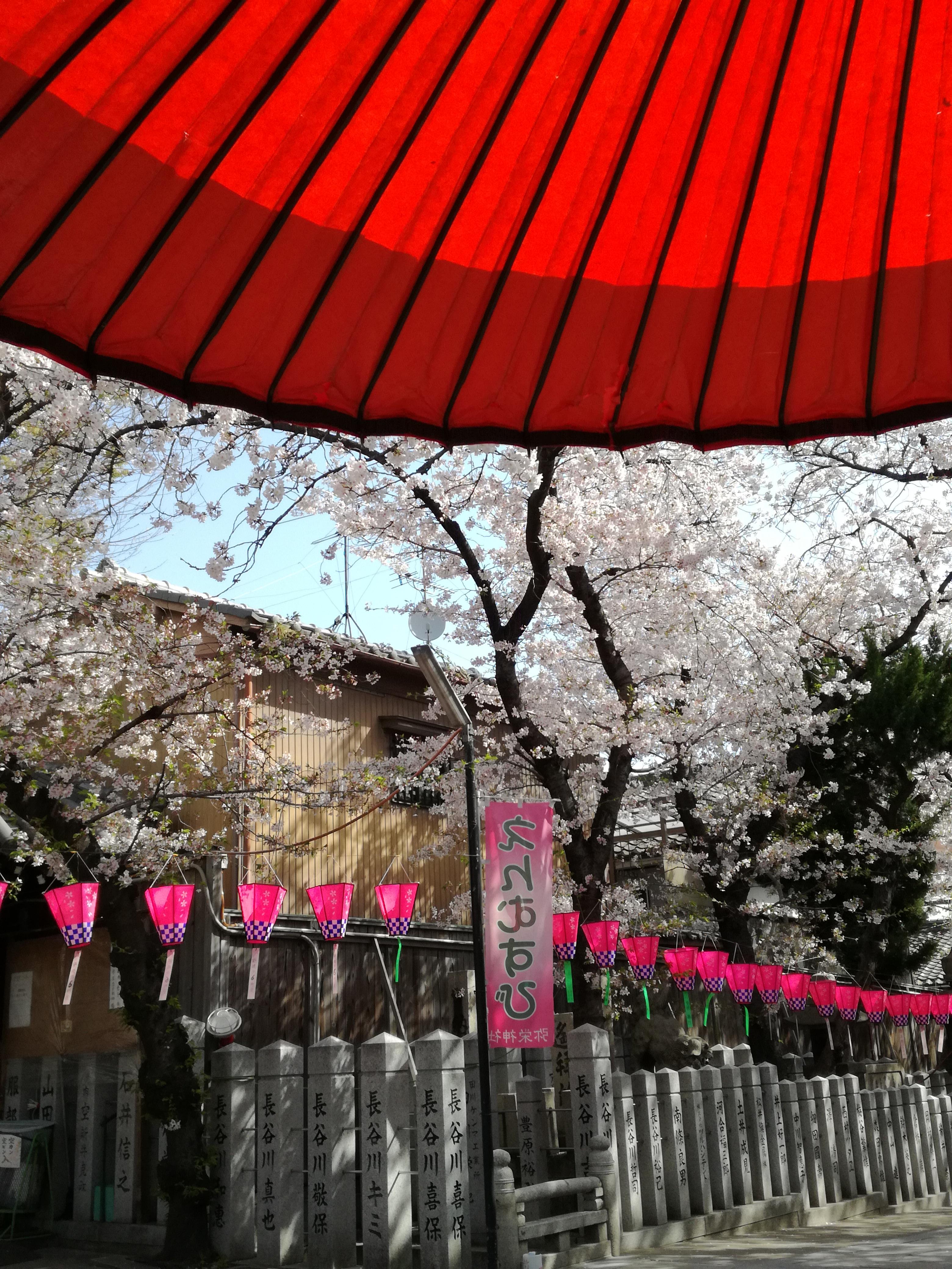 弥栄神社 桜 番傘